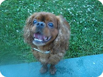 Cavalier King Charles Spaniel/English Toy Spaniel Mix Dog for adoption in Cumberland, Maryland - Reggie-New Jersey