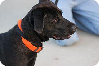 Labrador Retriever Dog for adoption in Oakville, Connecticut - Sport