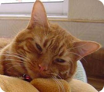 Domestic Shorthair Cat for adoption in Mountain Center, California - Dandylion