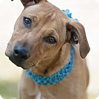 Adopt A Pet :: Maddie - Houston, TX