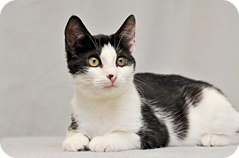 Domestic Shorthair Kitten for adoption in Cary, North Carolina - Dexter-adopted