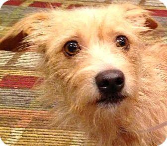Cairn Terrier/Norfolk Terrier Mix Dog for adoption in Boulder, Colorado - Carson-ADOPTION PENDING