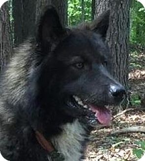 Husky/Akita Mix Dog for adoption in Windham, New Hampshire - Yucon