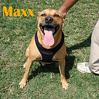 Shepherd (Unknown Type) Mix Dog for adoption in Orangeburg, South Carolina - Maxx