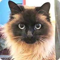 Adopt A Pet :: Smokey Girl - Davis, CA