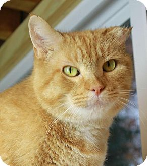 Domestic Shorthair Cat for adoption in Winston-Salem, North Carolina - Pumpkin