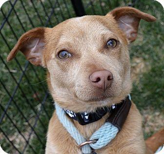 Chihuahua Mix Puppy for adoption in Meridian, Idaho - Bert