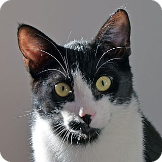 Domestic Shorthair Cat for adoption in Norwalk, Connecticut - Theodore