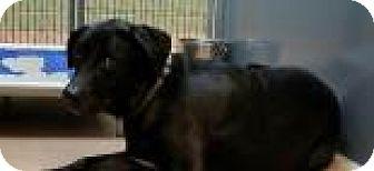 Labrador Retriever Mix Dog for adoption in Columbus, Georgia - Belle 0E66