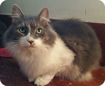 Domestic Longhair Cat for adoption in Sharon Center, Ohio - Zeus