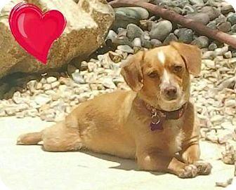 Dachshund Mix Dog for adoption in Las Vegas, Nevada - Stella