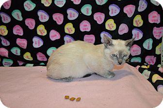 Siamese Kitten for adoption in Arlington/Ft Worth, Texas - Sheba