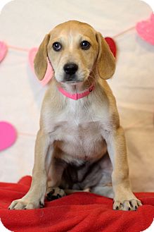 Golden Retriever Mix Puppy for adoption in Waldorf, Maryland - Jackie