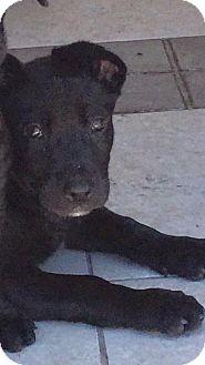 Labrador Retriever Mix Puppy for adoption in Loxahatchee, Florida - Charlie