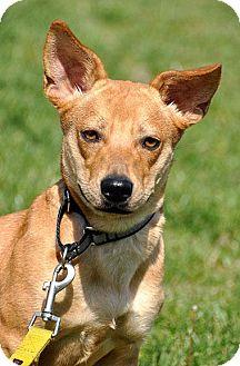Dachshund/Terrier (Unknown Type, Medium) Mix Dog for adoption in Fort Leavenworth, Kansas - Myla