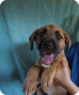 Giant Schnauzer/Labrador Retriever Mix Puppy for adoption in Oviedo, Florida - Danny