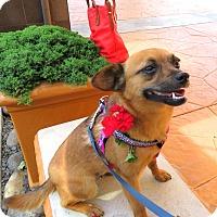 Adopt A Pet :: Foxy - Davis, CA