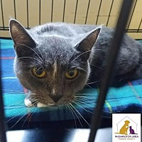 Domestic Shorthair Cat for adoption in Eighty Four, Pennsylvania - Gwen