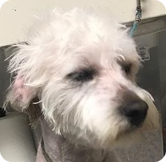 Poodle (Miniature) Mix Dog for adoption in Canoga Park, California - Marshmallow