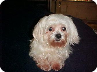 Maltese Dog for adoption in Anderson, South Carolina - Cookie