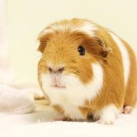 Guinea Pig for adoption in Montreal, Quebec - Laurel