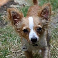 Adopt A Pet :: Sarah - Issaquah, WA