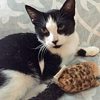Adopt A Pet :: Samson: Purrs SO Loudly - Brooklyn, NY