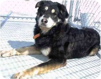 Australian Shepherd Mix Dog for adoption in New Kent, Virginia - Jimmy