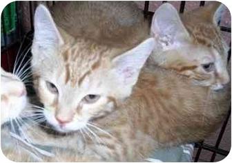 Domestic Shorthair Kitten for adoption in Honesdale, Pennsylvania - Rajah