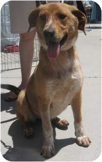 Shepherd (Unknown Type)/Collie Mix Dog for adoption in Lincolnton, North Carolina - Scamp