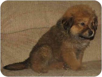 Golden Retriever/Chow Chow Mix Puppy for adoption in Brattleboro, Vermont - Darla