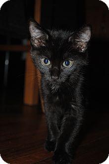 Domestic Shorthair Kitten for adoption in Worcester, Massachusetts - Princess Jasmine and Beauty