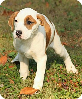 American Bulldog/Boxer Mix Puppy for adoption in Plainfield, Connecticut - Briley