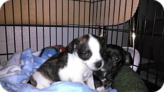 Chihuahua Mix Puppy for adoption in Morgan Hill, California - Snoopy