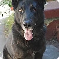 Adopt A Pet :: Lassie - Los Angeles, CA