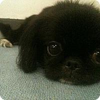 Adopt A Pet :: Gezomina - Toronto/Etobicoke/GTA, ON