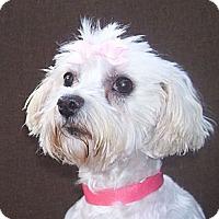 Adopt A Pet :: Chloe - CAPE CORAL, FL