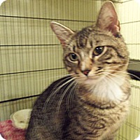 Domestic Shorthair Cat for adoption in Houston, Texas - Joey (PBJ)