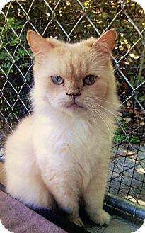 Persian Cat for adoption in Boca Raton, Florida - Hercules