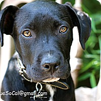 Adopt A Pet :: Archie - La Habra, CA