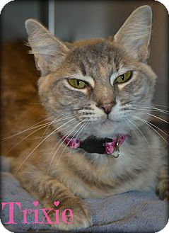Domestic Shorthair Cat for adoption in Beaumont, Texas - Trxie