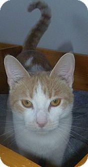 Domestic Shorthair Cat for adoption in Hamburg, New York - Bruno Mars