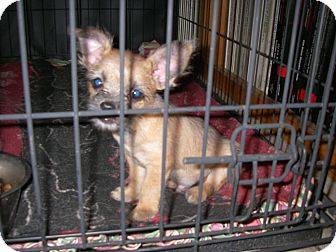 Chihuahua/Shih Tzu Mix Puppy for adoption in Buchanan Dam, Texas - Peewee