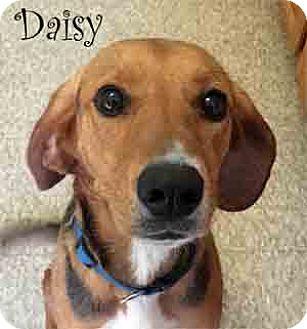 Treeing Walker Coonhound Mix Dog for adoption in Warren, Pennsylvania - Daisy