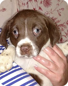 Spaniel (Unknown Type) Mix Puppy for adoption in Barnegat, New Jersey - Lacey