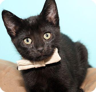 Scottish Fold Kitten for adoption in Royal Oak, Michigan - TALISKER