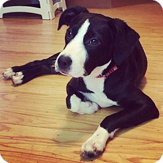 Border Collie/Labrador Retriever Mix Dog for adoption in Orland Park, Illinois - Koda