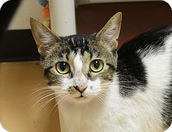 Domestic Shorthair Cat for adoption in Springfield, Illinois - Seven
