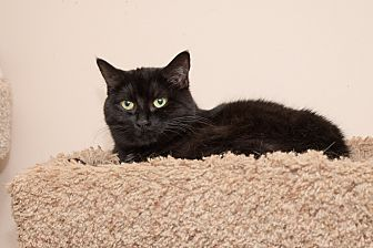 Domestic Shorthair Cat for adoption in Chicago, Illinois - Onyx