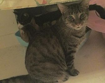 Domestic Shorthair Cat for adoption in Montreal, Quebec - Snookie